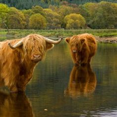 I love these Highlanders!! They're so cute, almost wanna cuddle with them