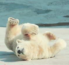 Forgot how to Polar Bear Bear Photos, Bear Pictures, Animal Pictures, Baby Polar Bears, Cute Polar Bear, Teddy Bears, Bear Cubs, Panda Bear, Tiger Cubs