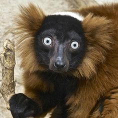 Red-ruffed lemur - A small primate species native only to Madagascar, red-ruffed lemurs live only in one protected area and are critically endangered. Smithsonian National Zoo.