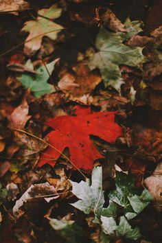 into the wild | autumn leaves | maple | red | colour | beauty in nature |