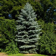Silvery-Blue Evergreens add Character - This classic ornamental evergreen tree will light up your property with rich silvery blue color! You'll admire this popular tree's beauty, and appreciate how easy it is to care for. These evergreens make excellent landscape specimens... or plant them in a row as a privacy screen or windbreak....