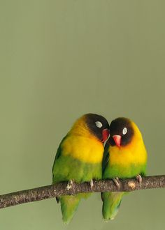 Want a pair of loves birds someday