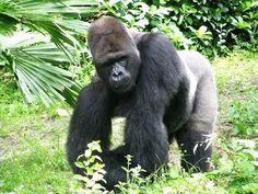 A Cute Female Gorilla on the Pangani Exploration Trail - Animal Kingdom - Video - 2008 Youtube, Animals, Animales, Animaux, Animal, Animais, Youtubers, Youtube Movies