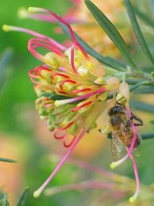 grevillea flower and bee Strange Flowers, Unusual Flowers, Rare Flowers, Amazing Flowers, Wild Flowers, Australian Wildflowers, Australian Flowers, Plants That Attract Butterflies, Endangered Plants