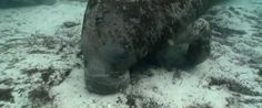 November is Manatee Awareness Month in South Florida!