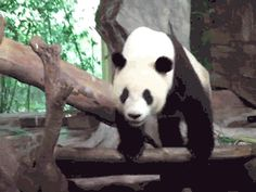 And this jerk panda that used his friend's face as a toilet: | 20 Animals That Are HugeJerks