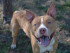 TO BE DESTROYED-10/14/13 Manhattan Cente-P PRINCE ID # A0980264.Male tan & wht pit bull mix. 2 YRS old Owner is homeless living in shelter cannot care for dog anymore If in better situation may inquire about wanting dog back Officers from the 52 precinct are also interested in the dog WOW! Dog came into shelter social & friendly Walks nicely on leash, most likely housetrained Well mannered, playful & affectionate Prince is waiting to meet you & brighten your life with dedication/love -GREAT…