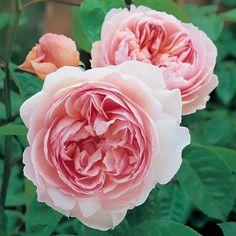 ジェントル・ハーマイオニー・スタンダード Gentle Hermione, Standard (Ausrumba) 典型的なオールドローズの特徴を持つ、完璧に整った花姿の品種です。ふっくらとしたチャーミングなつぼみは、開くに連れて完ぺきにアレンジされた花びらのシャローカップ咲きへと変化します。透きとおるようなピンクの花は雨にも打たれ強く、外側になるほど淡い色合いへと変化していきます。病気に強く、弓なりの枝を持つバランスの取れた中丈のシュラブになります。ミルラを思わせる典型的なあたたかみのあるオールドローズの濃厚な香りです。 ハーマイオニーはシェークスピアの「冬物語」に登場するリオンディーズ王の献身的な妻の名から付けられました。