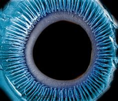 Eye showing the inner surface of the iris, pupil, and ciliary processes. The lens was removed to show the posterior surface of these structures. The iris regulates the amount of light that enters the pupil by changing its size and it is what gives the eye its color. SEM. Credit: Dr. Richard Kessel & Dr. Randy Kardon/Tissues & Organs/Visuals Unlimited, Inc.