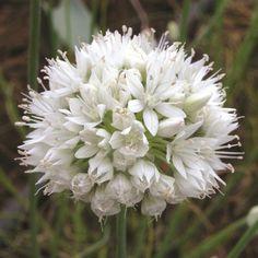 Allium 'Graceful'