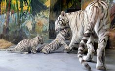 A female white tiger named Shilang picks up one of her cubs after a medical examination by veterinary surgeons at Bratislava Zoo. She had three white tiger cubs, a male named Adzaj and two females Adisa and Asira...