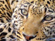 leopard | photo by authortommiller.com