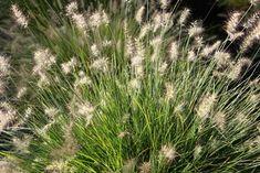 Pennisetum alopecuroides 'Little Bunny' (Miniature Fountain Grass)