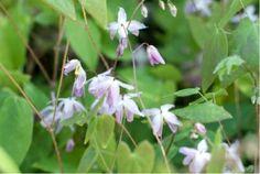 Epimedium 'Sasaki' (6223_0.jpg). wintergroen. 4,50 bij de kleine kwekerij.