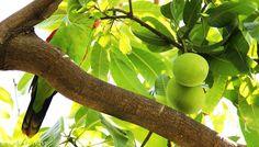 Mango Saison!
