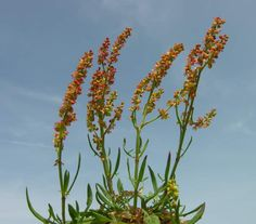 RED FLOWERS - Rumex Acetosella