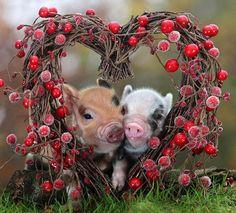 Piggies in love!