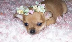 Why We Love Chihuahua Dog Pictures (And You Should, Too!)