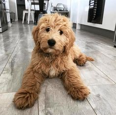 9 Best Cavapoo full grown images in 2019 | Cubs, Cute puppies
