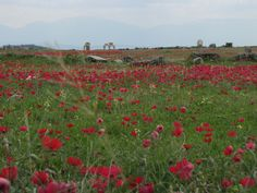 Wildflowers around Hierapolis, Denizli, Turkey
