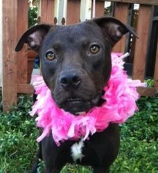 Posey #34188 is an adoptable Labrador Retriever Dog in Baton Rouge, LA. � � All dogs in the adoption program are examined by a veterinarian, vaccinated, spayed/neutered, and micro-chipped prior to lea...