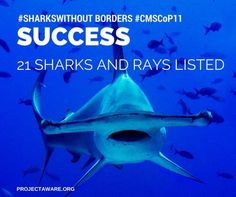 Sharks and rays without borders #CMSCoP11 #Hammerhead #Shark #ProjectAWARE