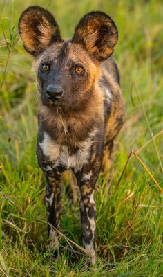 Vumbura Plains by JohnGlenWeaver - Tap the pin for the most adorable pawtastic fur baby apparel! You'll love the dog clothes and cat clothes! African Hunting Dog, African Wild Dog, Hunting Dogs, Beautiful Creatures, Animals Beautiful, Cute Animals, Wild Animals Pictures, Animal Pictures, Orcas