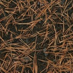 Brown pine needles lay on the ground.