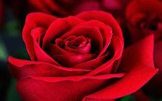 Download wallpapers red rose, rosebud, beautiful red flowers, roses