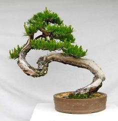 pin it for later. The diagonal shakan bonsai style is the result of the wind blowing in one instruction Pine Bonsai, Bonsai Art, Bonsai Garden, Japanese Bonsai Tree, Above The Rim, Bonsai Forest, Adventure Time Wallpaper, Bonsai Tree Types, Waterfall Design