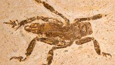 Fossile d'insecte du Brésil