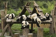 One-Day Tour: Chengdu Panda Base and Cooking Class  This Panda Base and Cooking Class Day tour is designed for those who love Pandas and also interested in Chinese cooking during your short stay in Chengdu. Visiting adorable Chinese national treasure, giant pandas, and tasting local Sichuan cuisine are must-dos in Chengdu. Chinese food is appreciated by people all around the world. It is well known for its exotic taste and variety. Sichuan cuisine is ranked among the ...