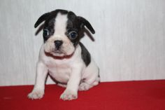 www.ThatDoggyintheWindow.com - Penny Female AKC French Bulldog, $105.00 (http://stores.thatdoggyinthewindow.com/penny-female-akc-french-bulldog/)