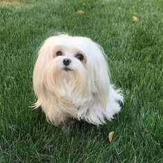 Maltese Dog Breed Information Cute Pups Maltese Maltese Dogs