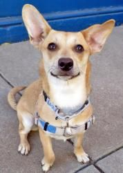 Kanga_A330505 is an adoptable Chihuahua Dog in San Francisco, CA. Kanga is the happiest, bounciest dog you'll ever meet! This delightful Chiweenie girl is sweet, fun and active: she loves to play and ...