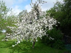 Apple tree in bloom-a beautiful shape, beautiful blooms, and fruit to eat in the fall!