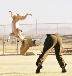 American Bulldog in Schutzhund training :] ...looks like shes got the bad guy down!