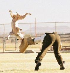 American Bulldog in Schutzhund training :] ...looks like shes got the bad guy down!