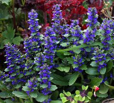 "Ajuga genevensis ""Blue Bugleweed"" Deep true gentian blue spikes 6-12"" tall appear all Summer long on this well behaved densely matting groundcover. We love this hard to find dependable ""Bugleweed"" for its larger spikes and flowers & glossy, low, groundhugging foliage. Spreading to 2' across, it's not stoloniferous and therefore not invasive (like the more common Ajuga reptans), so you can use it for smaller areas & alongside pathways."