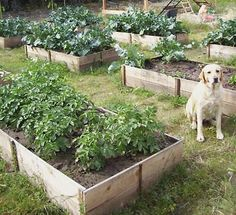All Gardens are better with a Dog :: Raised beds for vegetable garden and flowers ..ten dollars in materials