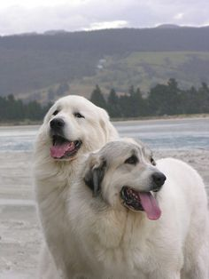 The very rare two-headed mountain dog.