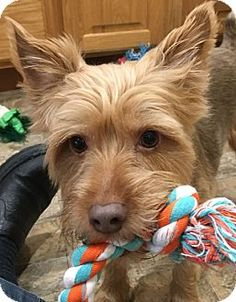 Pictures of Diggy a Yorkie, Yorkshire Terrier for adoption in Chesterfield, MO who needs a loving home.