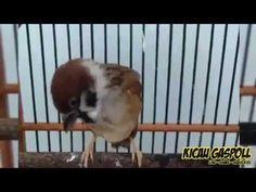 Masteran Burung Gereja Favorit Kicau Mania - YouTube Love Birds, Youtube, Animals, Animales, Animaux, Animal, Animais, Youtubers