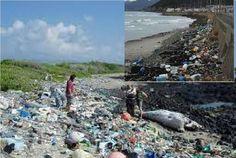 1003 今 海の  汚染が、すごいことになってます   マイクロプラスチック 魚4割に微細プラ片 東京湾など調査、海の汚染深刻!!!! 毎日新聞2017年9月19日 東京朝刊より 海に漂う微細なマイクロプラスチック(MP)を体内に取り込んだ魚が東京湾や大阪湾、琵琶湖など国内の広い範囲で見つかり、調査した魚全体の4割に上ったとの結果を、京都大の田中周平准教授(環境工学)らのチームがまとめた。 MPは、レジ袋やペットボトルなどが紫外線や波で砕かれてできた大きさ5ミリ以下のごみ。 汚染は世界の海に広がっているが、日本も深刻な状態にあることが示された。
