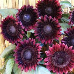 MOULIN ROUGE Sunflower Seeds ❧ The dark velvet burgundy 6-8 inch flowers shade to nearly black in the center. This is an exquisite, free branching and heavy blooming selection that we think you are going to love. An outstanding variety for cutting. Grows 5-7 feet tall. Swallowtail Garden Seeds