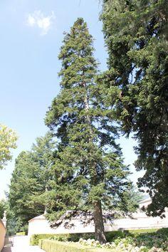 Abeto del Cáucaso de la Casita del Príncipe (Abies nordmanniana)