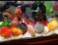 Diskus Aquarium, Tropical Fish Aquarium, Aquarium Ideas, Discus Tank, Discus Fish, South American Cichlids, Paludarium, Tanked Aquariums, Fish Ponds