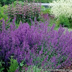Catmint Walkers Low, Nepeta faassenii