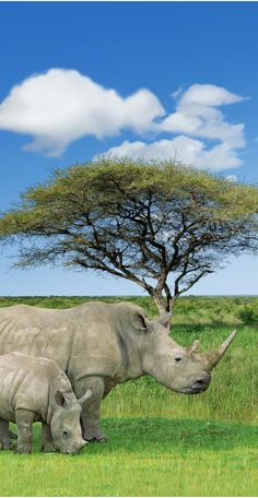 Rhino and a baby. This beautiful African animal is being depleted from the face of the earth just to sell its horn. It may be extinct very soon Ashame for the hunters that will hunt one of the last 1,700