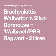Brachyglottis Walberton's Silver Dormouse = 'Walbrach'PBR Ragwort - 2 litres